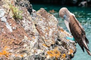 Yoga & Juliet, Galapagos, Isabela, Meer, Los Tuneles, Blaufußtölpel